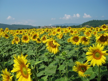 Sunflowers one of the painting subjects of our plein air landscape painting workshops in Italy